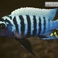 zebra_chilucha_reef.jpg