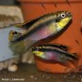pelvicachromis_pulcher2.jpg