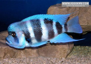 Cyphotilapia frontosa Blue Mpimbwe молодой самец. - art188_01.jpg