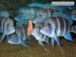 Cyphotilapia frontosa Blue Mpimbwe собираются съесть креветку... - art188_06.jpg