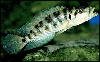 A. fasciatus - neol_fasciatus.jpg