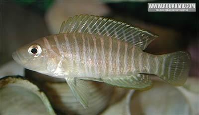 Взрослый самец L. similis - sim1.jpg