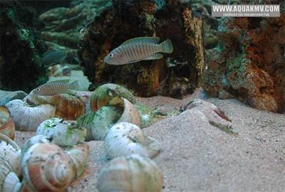 Взрослая пара L. similis Фото Д. Ванюшкина - sim6.jpg