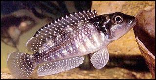 Lamprologus meleagris, самец - l-meleagris01.jpg