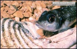 Lamprologus meleagris, самка с мальками у раковины - l-meleagris02.jpg