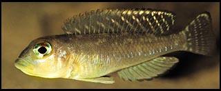 Lamprologus ornatipinnis sp. aff. Zambia, самец - l-ornatipinnis-zambia-m.jpg