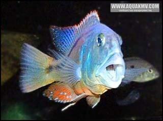 Aristochromis christyi. Самец. - aristochromis.jpg
