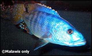Tyrannochromis nigriventer. Самец. - Tyrannochr_nigriventer.jpg