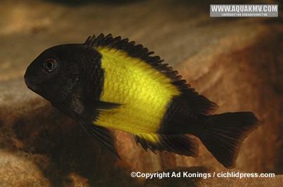 Фотография самца автор - Эд Конингс, Ad Konings  - tc129.jpg