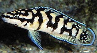 Julidochromis marlieri Gombe  - IMG_1950.JPG
