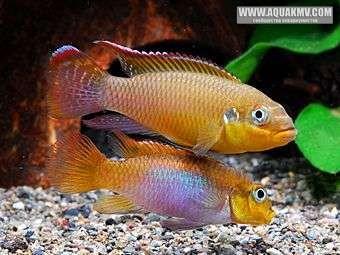 Pelvicachromis taeniatus Lobe - IMG_2050.JPG