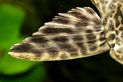 Pterygoplichthys pardalis L021  - Pterygoplichthys pardalis L021_3.jpg