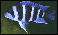 Cyphotilapia frontosa Blue Zaire Kapampa Между М toto и Kapampa Конго 5 полос. Более яркая голубая окраска, чем у расы Blue Sambia  - art82-02-2-1.jpg
