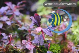 Bucephalandra sp. Batang lemanak - загруженное.jpg