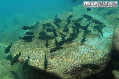 Озеро Танганьика в Африке - troph-moorii-a.jpg