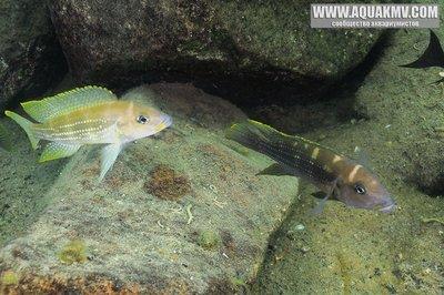 Озеро Танганьика в Африке - neolamp-tetracanthus-m-a.jpg