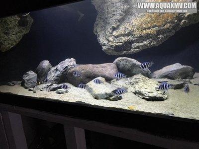 Темы для биотопных аквариумов Танганьики - 13139237_1625705267754798_8276836043393961033_n.jpg.b65556570870a7e52e2e0ddfc4d70c12.jpg