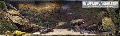 Темы для биотопных аквариумов Танганьики - 13237740_1233084946716374_2631550139831993297_n.jpg.a781d05887c83524faf58fb0a38e9cf5.jpg