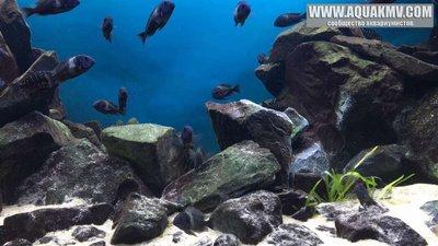 Темы для биотопных аквариумов Танганьики - 14249757_10208891334055346_8688484017071298454_o.thumb.jpg.3ddc4afd7b9690ad45daef9778d0474b.jpg