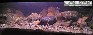 Темы для биотопных аквариумов Танганьики - 5759391cbf344_-1.jpg.643a60d13a371cb0f0187bf197ddb83d.jpg