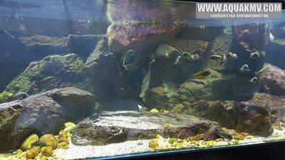 Темы для биотопных аквариумов Танганьики - 13407222_10209701024545428_1979903857624649876_n.jpg.1ee9f96cbed510d3b0b4e84da32fa73d.jpg