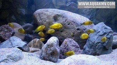 Темы для биотопных аквариумов Танганьики - 13450948_1094100643995431_8199944436107025805_n.jpg.95cb44a2e2a878cae1e8037e51b58ff7.jpg