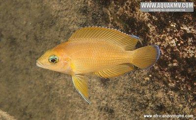 Озеро Танганьика в Африке - variabilichromis_moorii_subadult_kapere.jpg