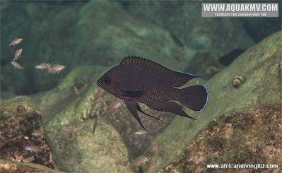 Озеро Танганьика в Африке - variabilichromis_moorii_w_juvenile_kalubale.jpg