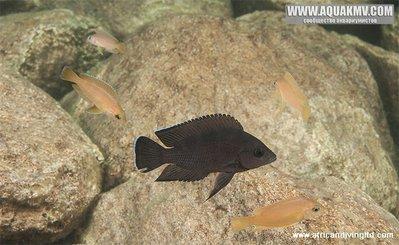 Озеро Танганьика в Африке - variabilichromis_moorii_w_juvenile_katondo.jpg