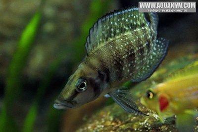 Altolamprologus calvus Black , самец - large.56c616520ab38_AltolamprologusCalvusblackZaire-male.jpg.4b89496289d6361a935f56032f1f7152.jpg