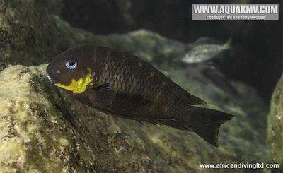 Tropheus sp. Mpimbwe Dahabu yellow cheek  - IMG_1457.JPG