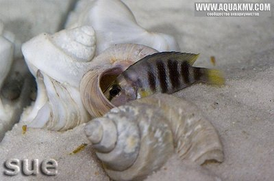 Altolamprologus sp. compressiceps shell Cape Kachese - IMG_1474.JPG