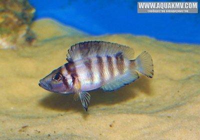 Altolamprologus sp. Shell Sumbu  - IMG_1476.JPG