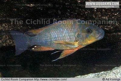 Petrochromis sp. macrognathus rainbow  - IMG_1501.JPG