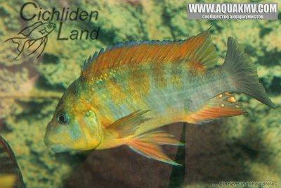 Petrochromis sp. macrognathus rainbow  - IMG_1502.JPG