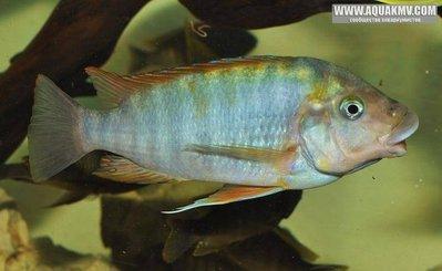 Petrochromis sp. macrognathus rainbow  - IMG_1503.JPG