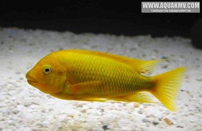 Petrochromis moshi - IMG_1505.JPG