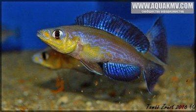 Cyprichromis Microlepidotus Caramba - IMG_1507.JPG