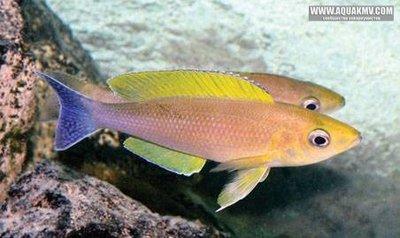 Cyprichromis coloratus - IMG_1508.JPG