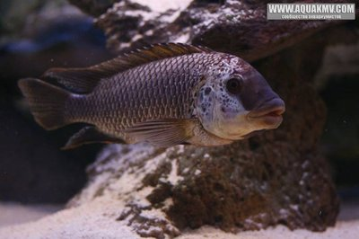 Petrochromis famula Sangala - IMG_1611.JPG