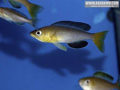 Самка Cyprichromis leptosoma Jumbo Yellow Head - IMG_1623.JPG