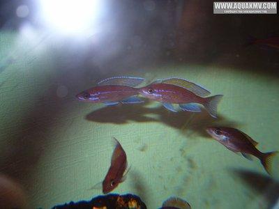 Cyprichromis много фото  - IMG_1627.JPG