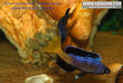 Cyprichromis leptosoma speckleback Moba - gallery_1216_14_3482.jpg