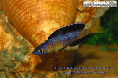 Cyprichromis leptosoma speckleback Moba - gallery_1216_14_126262.jpg