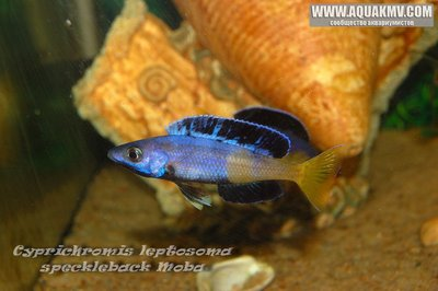 Cyprichromis leptosoma speckleback Moba - gallery_1216_14_187151.jpg