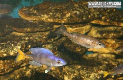 Blacke777 - Cyprichromis leptosoma utinta fluoriscent - gallery_1_14_37005.jpg