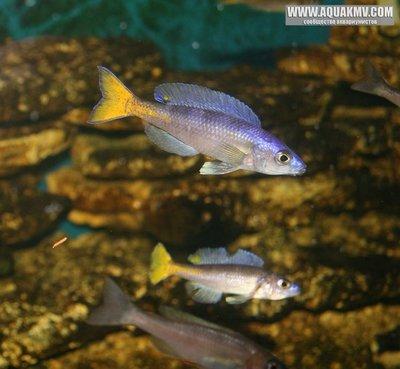 Blacke777 - Cyprichromis leptosoma utinta fluoriscent - gallery_1_14_65971.jpg