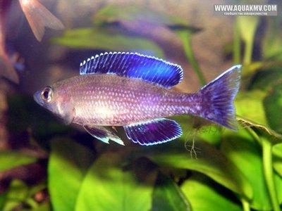 Cyprichromis leptosoma j. speckleback Moba  - gallery_4584_14_85847.jpg