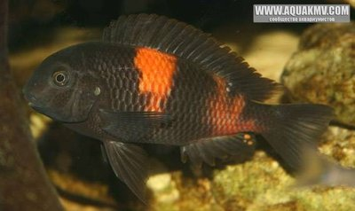 Blacke777: Tropheus Bulu Point - large.gallery_1_19_19163.jpg.bf35553b719b4c37a9661bbba03a81a9.jpg