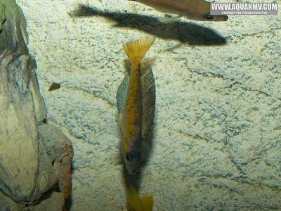 Cyprichromis много фото  - gallery_556_14_6775.jpg